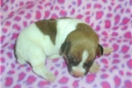 Picture of Jack Russell Terrier Female