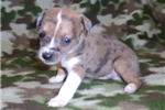 Picture of Jack/Rat Male 2 Red Merle