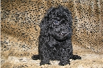 Picture of Mini Poodle Male