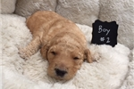 Picture of F1b Labradoodle Available for Adoption