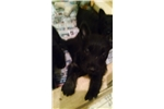 Picture of Black Female Scottish Terrier Puppy