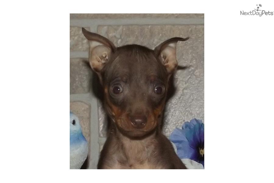 Miniature Pinscher Missouri Miniature Pinscher pup...