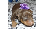 Picture of TINY Lacey Chocolate & Tan