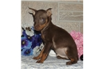 Picture of READY NOW! Scrappy Doo! Chocolate & Tan!