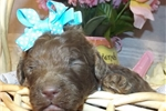Picture of Bella AKC CHOCOLATE