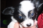 Picture of AKC Breeding Papillon Stud