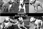 Picture of Dogo Argentino Female Puppy for Sale