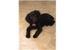 Female Boykin Spaniel Puppy | Puppy at 19 weeks of age for sale