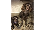 Boykin Spaniel puppy | Puppy at 37 weeks of age for sale