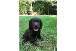 Boykin Spaniel puppy | Puppy at 21 weeks of age for sale