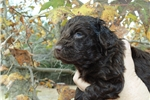 Female Boykin Spaniel Puppy | Puppy at 6 weeks of age for sale