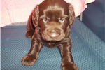 Boykin Spaniel puppy male | Puppy at 6 weeks of age for sale