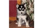 Picture of Beautiful Full AKC Alaskan Malamute Female
