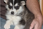 Beautiful Full AKC Alaskan Malamute Female  | Puppy at 9 weeks of age for sale