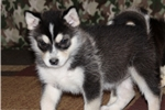 Handsome Full AKC registered Alaskan Malamute Male | Puppy at 9 weeks of age for sale