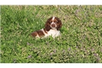 Cocker Spaniels for sale