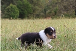 Picture of AKC LACY