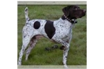 Picture of German Shorthaired Pointer Puppies