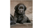 Picture of English Labrador Retriever Puppy