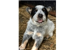Picture of Gorgeous AKC Champion Bred ACD Males