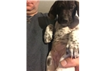 Picture of GSP Puppy for Sale