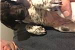 Picture of German Shorthaired Pointer Puppy for Sale