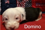 Picture of Domino-1 Blue Eye-AKC Reg.-Micro-chipped