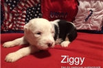 Picture of Pretty Ziggy-AKC Reg.-Micro-chipped