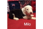 Picture of Milo-1 Blue Eye=AKC Reg.-Micro-chipped