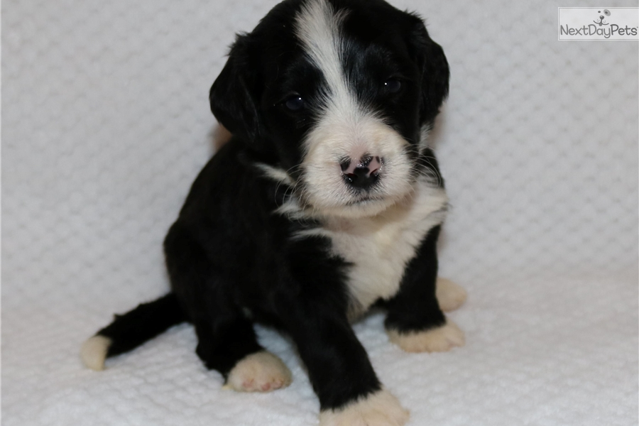 Bernese Mountain Dog For Sale In Quebec