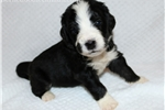 Picture of BERNEDOODLE - MARYLIN