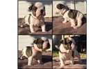 Picture of olde english bulldog pups for sale-Leia