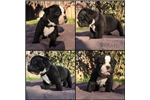 Picture of olde english bulldog pups for sale-Tom Tom