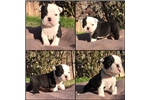 Picture of olde english bulldog pups for sale-Luna