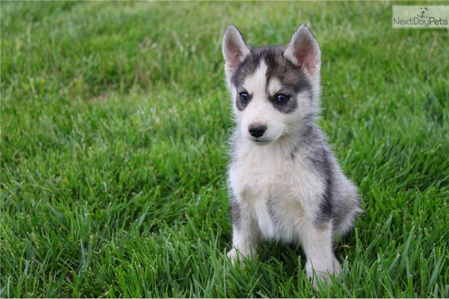 Husky puppy for sale in california - fondos descarga ...