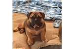 Picture of Mountaineer Olde English Bulldogge's Opal