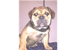 Picture of Olde English Bulldogge Male Puppy