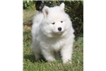 Picture of Purebred Samoyed Puppies