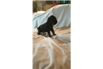 Picture of Black and silver miniature schnauzer
