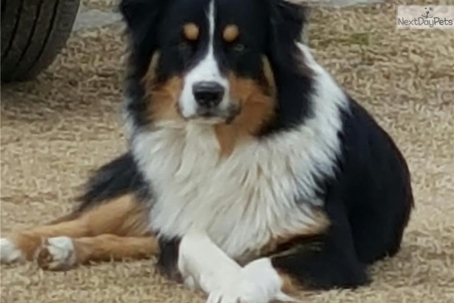 Australian Shepherd puppy for sale near Oklahoma City ...