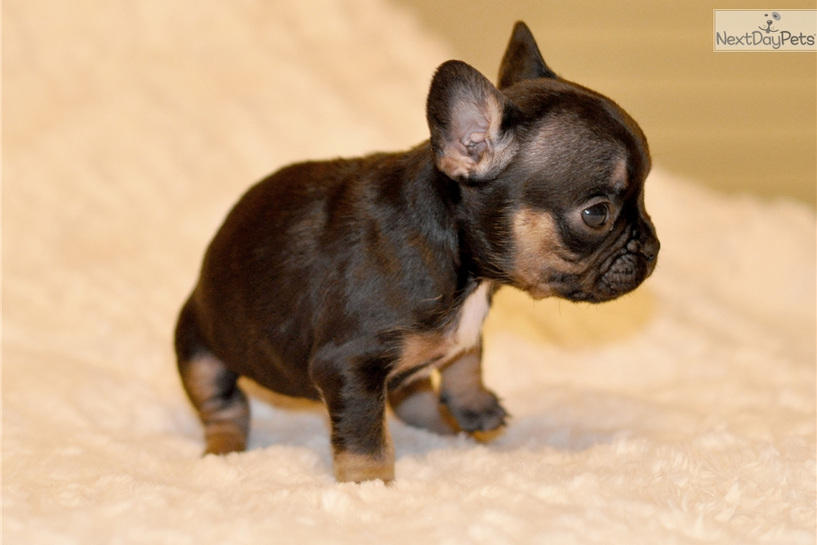French Bulldog puppy for sale near Inland Empire, California ...