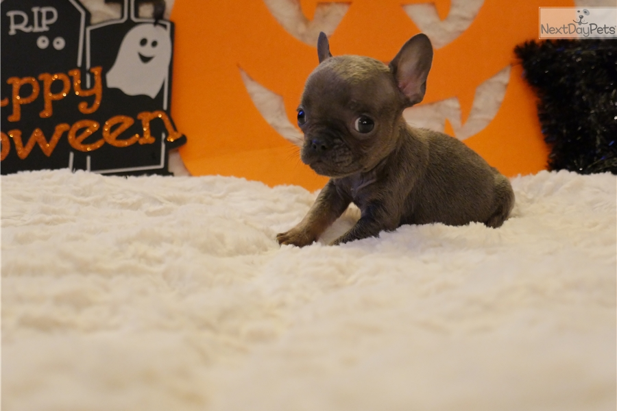 French Bulldog Puppies For Sale Inland Empire Dog Breeds Picture Dog ...