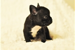 Picture of AKC FRENCH BULLDOG