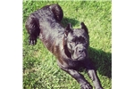 Picture of Cane Corso Puppies for sale!!