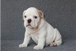 Picture of White Bulldog