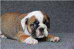 Picture of Black Tri Bulldog