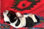 Picture of (Sadie) Mini Texas Heeler
