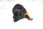 Picture of Black Russian Puppy for sale.