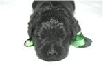 Picture of Black Russian Puppy for sale - Male