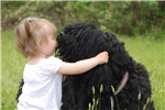 Picture of Black Russian Terrier Puppies - Available
